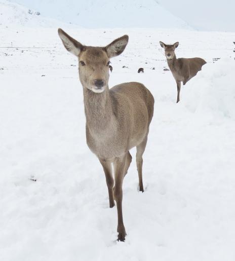 Deer on Rannoch Moor