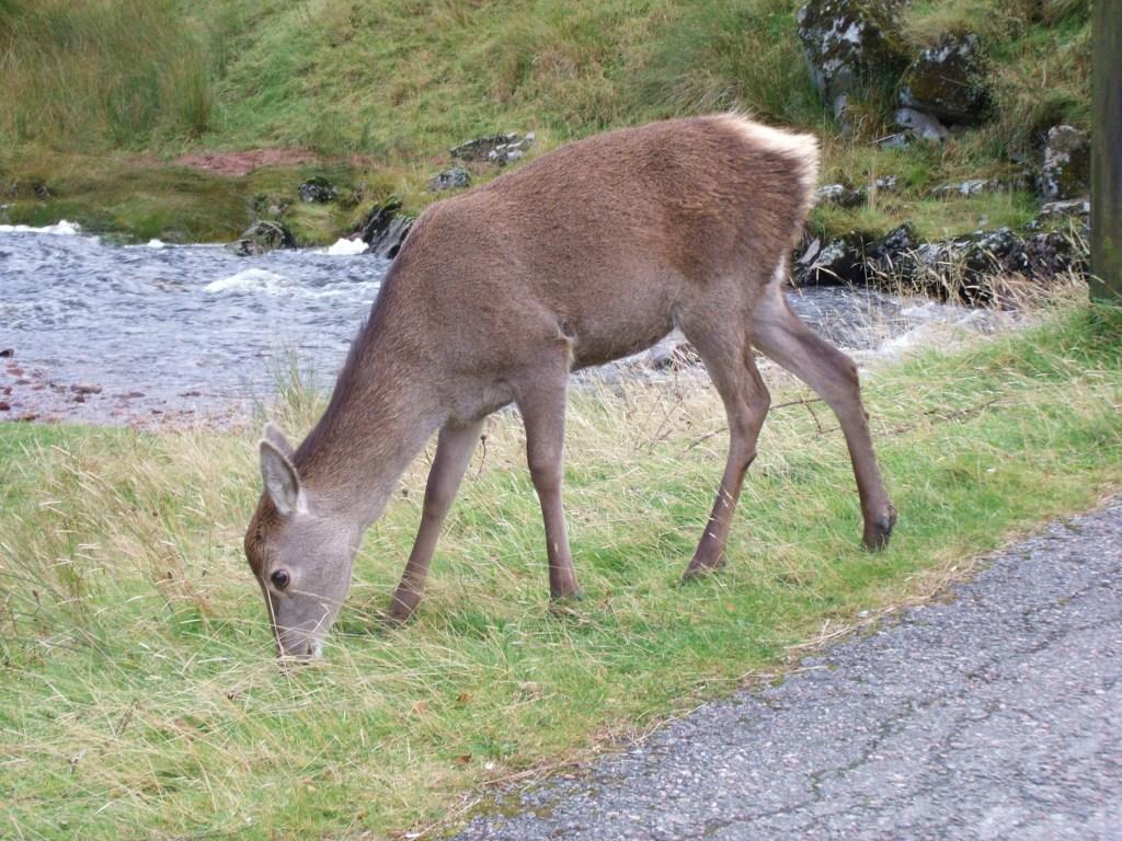 deer at kings house