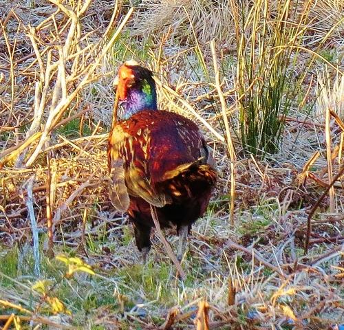 Pheasant on Jura