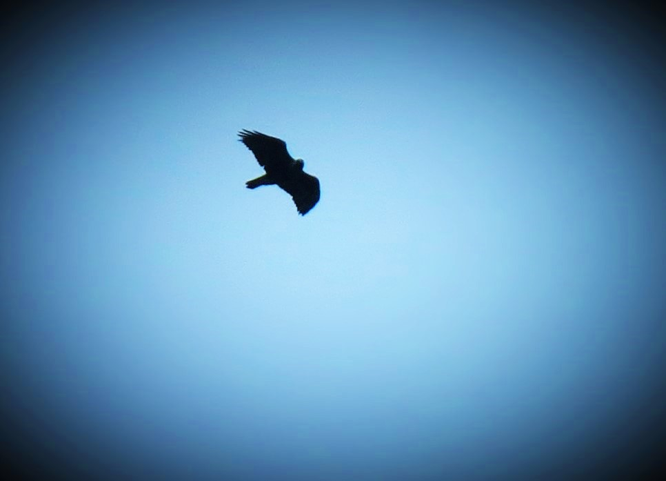 golden-eagle-over-ardnamurchan